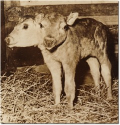 Sepia photo of a two headed calf.