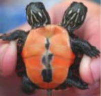 Picture of a two headed turtle.