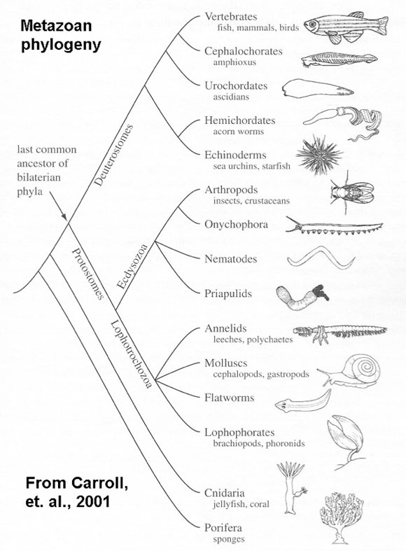 the story of the animal phyla What your textbook says about the origin of invertebrates evolutionary relationships of animal phyla are based on dna and the story is based on.
